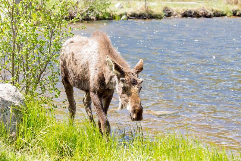 Alces masculinos novos em Sprague Lake fotos de stock