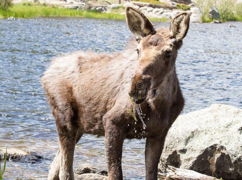 Alces masculinos novos em Sprague Lake em Rocky Mountain National Park imagens de stock royalty free