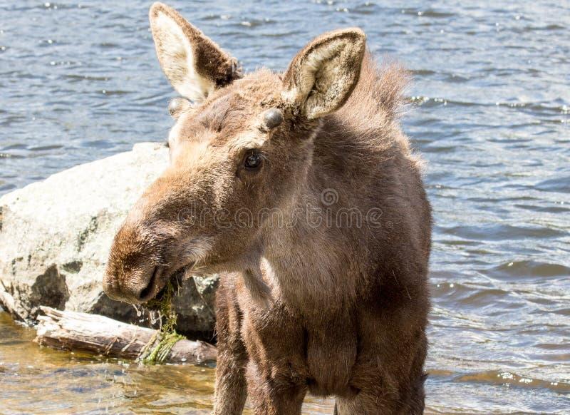 Alces masculinos novos em Sprague Lake em Rocky Mountain National Park foto de stock