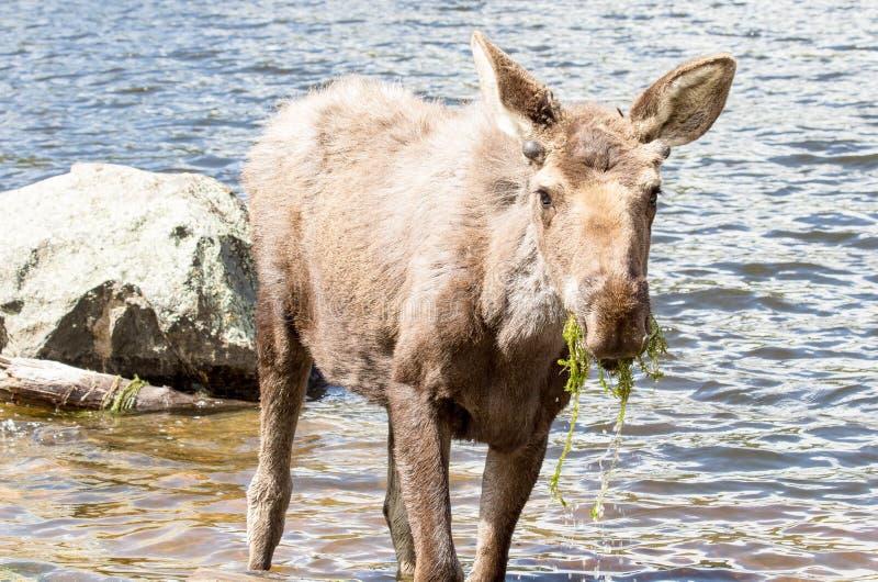 Alces masculinos novos em Sprague Lake em Rocky Mountain National Park imagem de stock