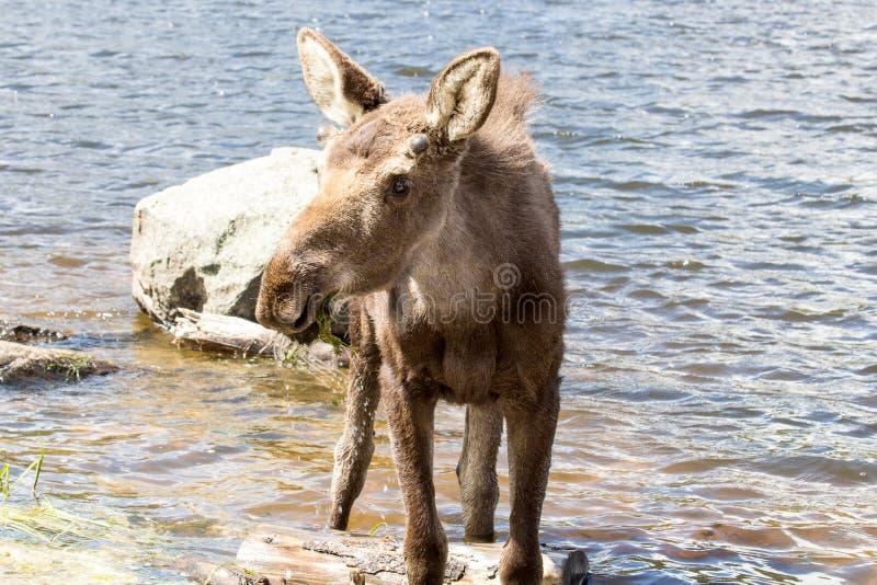 Alces masculinos novos em Sprague Lake em Rocky Mountain National Park foto de stock royalty free