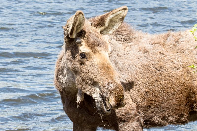 Alces masculinos novos em Sprague Lake em Rocky Mountain National Park fotografia de stock