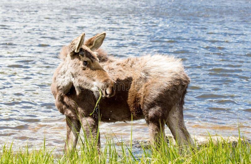 Alces masculinos novos em Sprague Lake em Rocky Mountain National Park imagens de stock