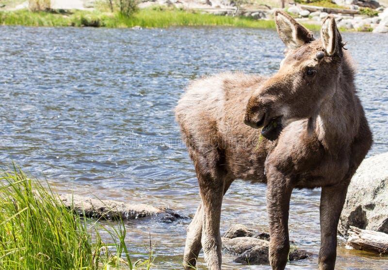 Alces masculinos novos em Sprague Lake em Rocky Mountain National Park imagem de stock royalty free