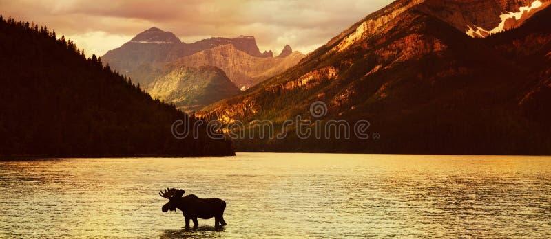 Alces no lago no por do sol fotos de stock royalty free