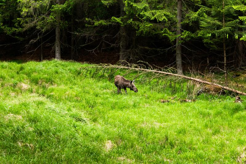 Alces novo do Alces dos alces na floresta do verão imagem de stock royalty free