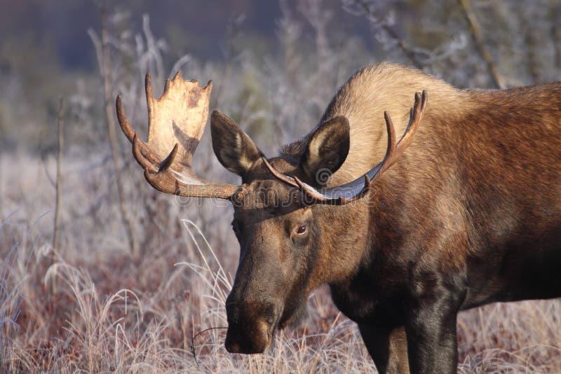 Alces pequenos de Alaska Bull fotografia de stock royalty free