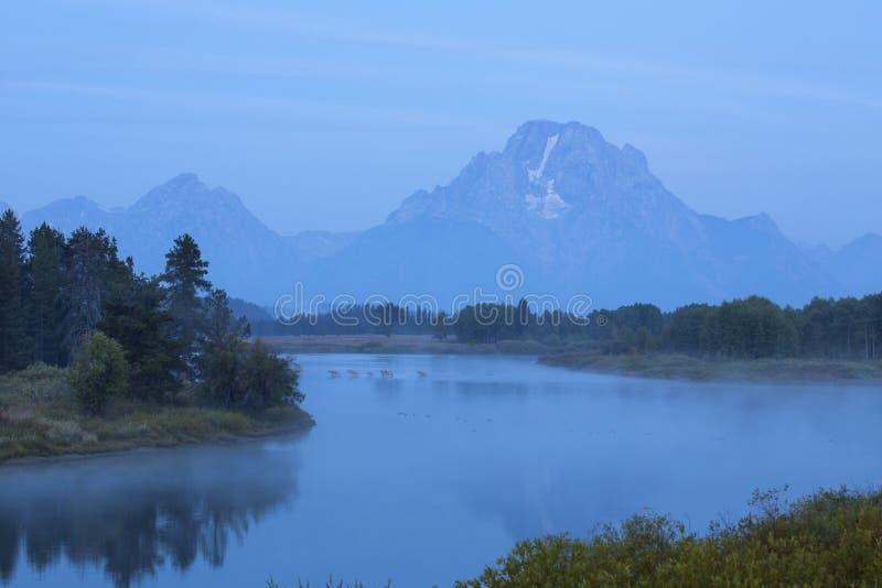 Alces que cruzan el río Snake, niebla de la mañana, parque nacional de Teton, Wyom imagen de archivo