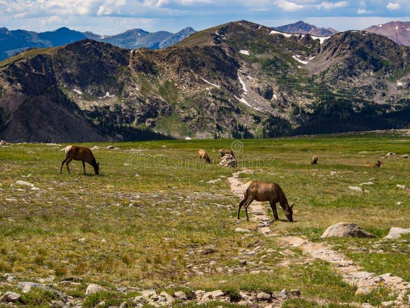 Alces que pastan en Rocky Mountains fotografía de archivo libre de regalías