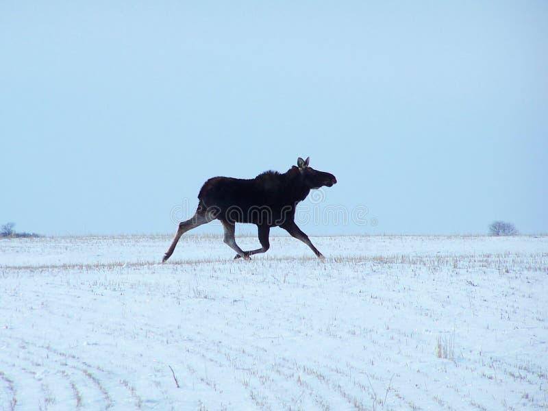 Alces que se ejecutan en invierno fotografía de archivo libre de regalías