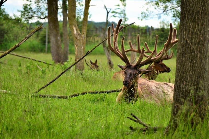 Alces que se relajan y que comen en hierba detrás de árboles y de ramas imágenes de archivo libres de regalías