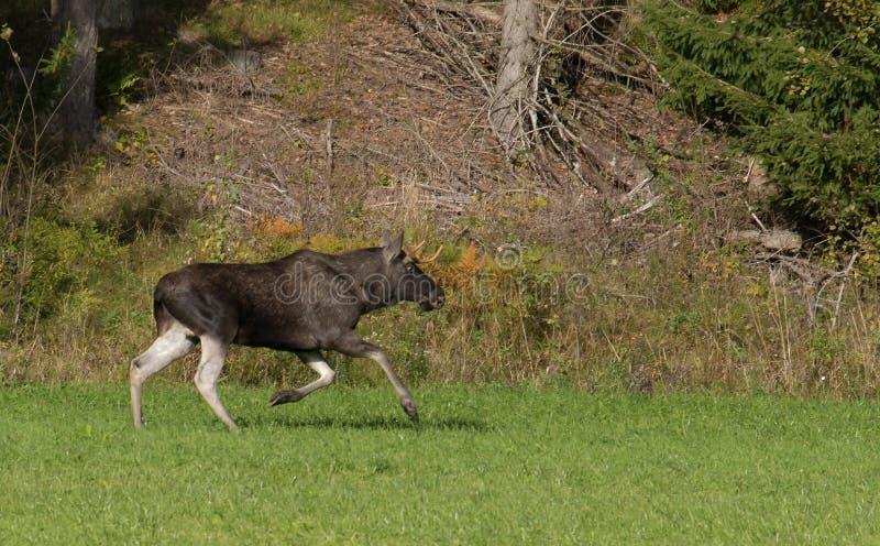Alces running do touro foto de stock royalty free