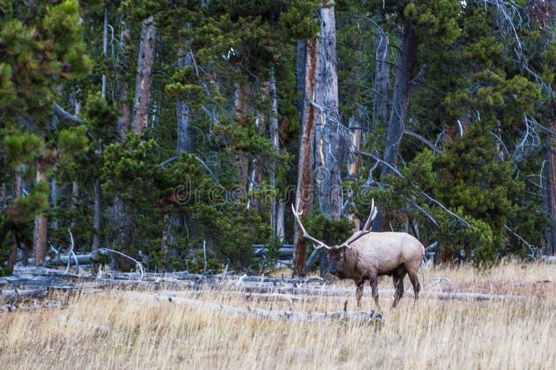 Alces salvajes del toro en el parque nacional de Yellowstone foto de archivo libre de regalías