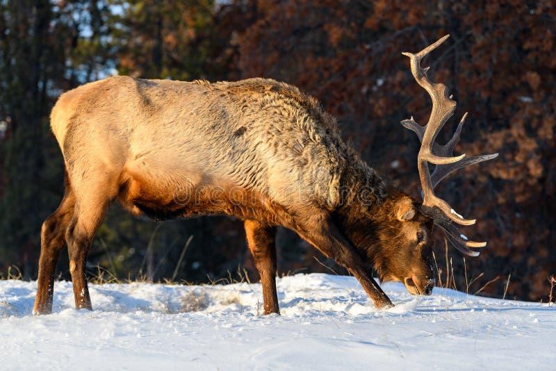 Alces salvajes o también conocido como canadensis del Cervus de los wapitíes en Jasper National Park, Alberta, Canadá fotos de archivo
