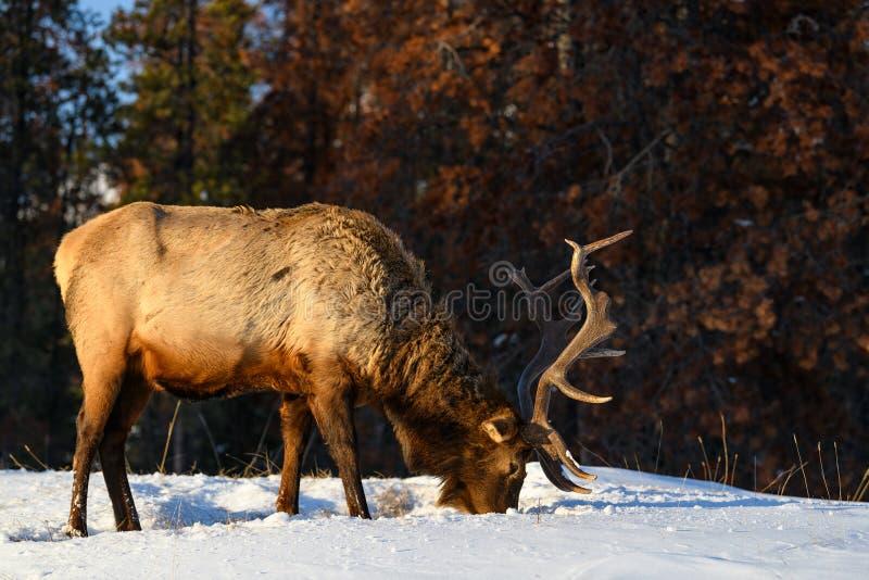 Alces salvajes o también conocido como canadensis del Cervus de los wapitíes en Jasper National Park, Alberta, Canadá imagenes de archivo