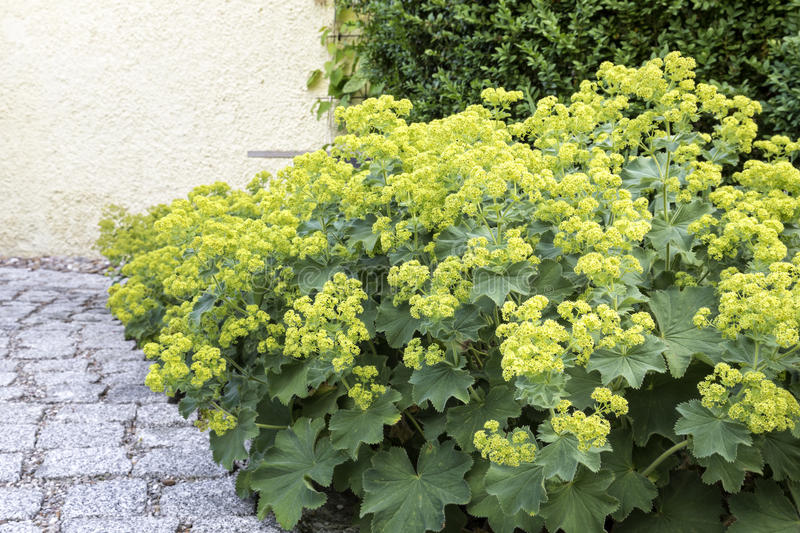 Alchemilla flowers. In the Garden, closeup royalty free stock image
