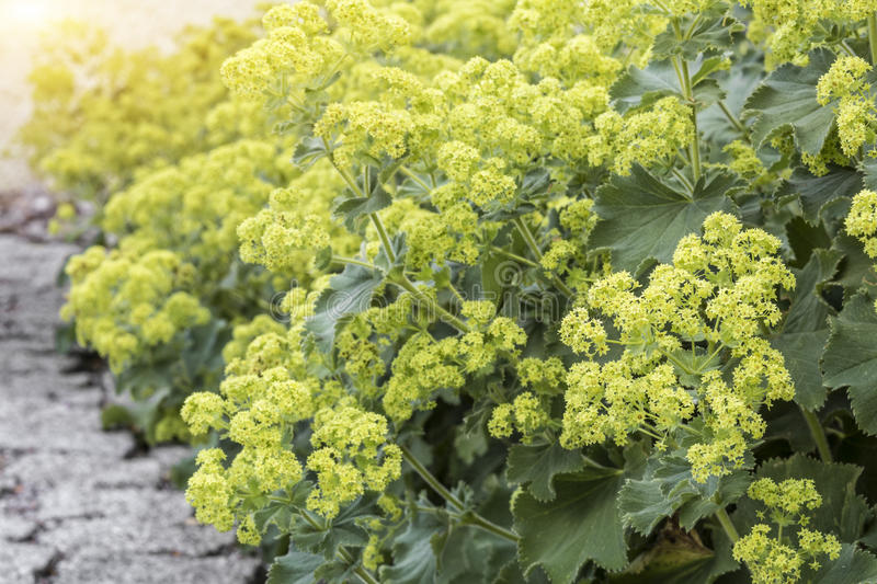 Alchemilla flowers. In the Garden, closeup royalty free stock photography
