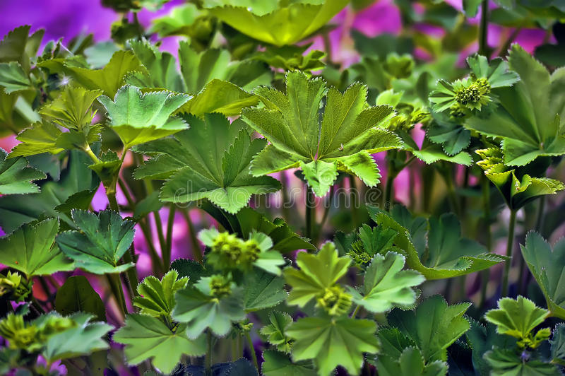 Alchemilla. Lady's mantle (alchemilla) is a ground covering perennial plant, use also as herbal remedy stock images