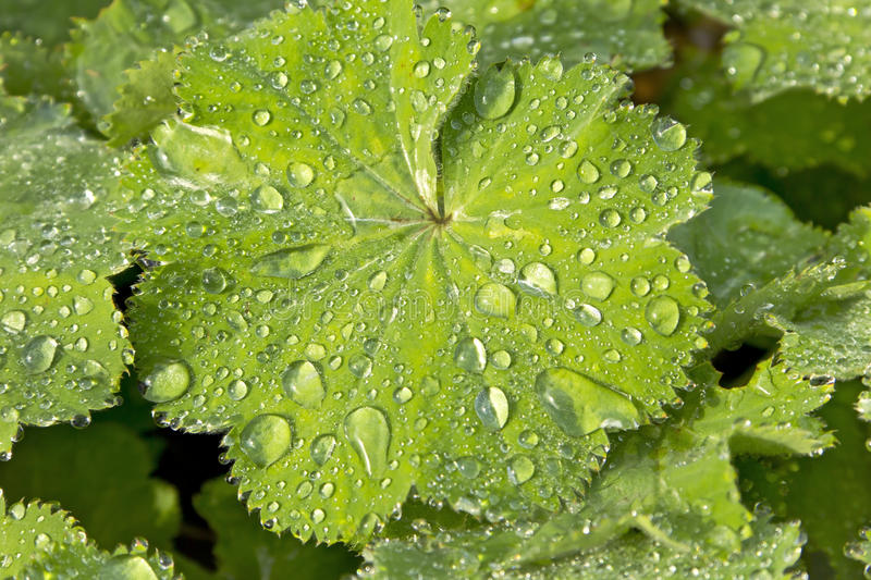 Alchemilla mollis. Lady's Mantle with water drops royalty free stock photos