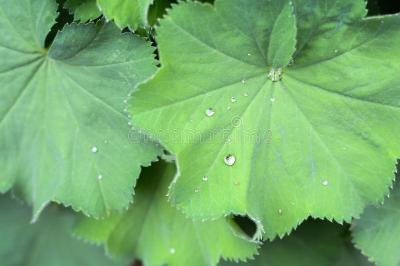 Alchemilla Mollis plant with green leaves and water droplets. Close up on green plant leaves stock photo