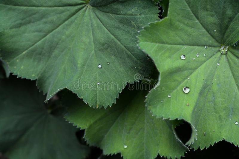 Alchemilla Mollis plant with green leaves and water droplets. Close up on green plant leaves stock image