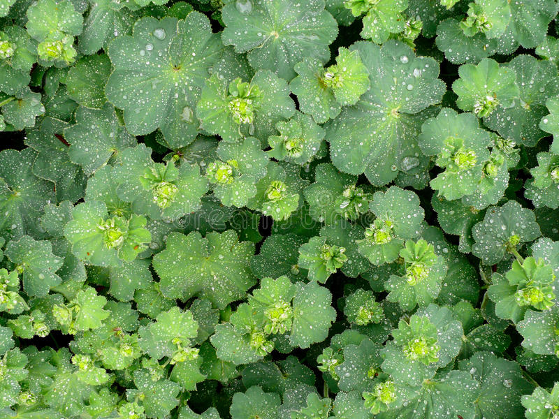 Alchemilla with raindrops. Alchemilla plant in spring full with raindrops stock photography