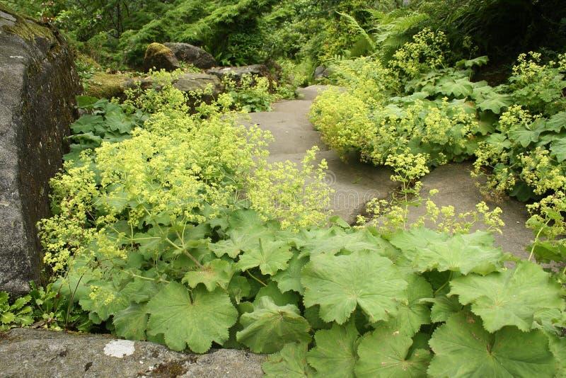 Alchemilla vulgaris growing in rock garden stock photography