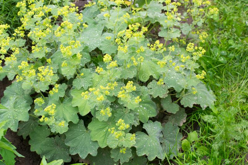 Alchemilla vulgariseous. Alchemilla vulgaris, lady`s mantle, herbaceous perennial plant royalty free stock photos
