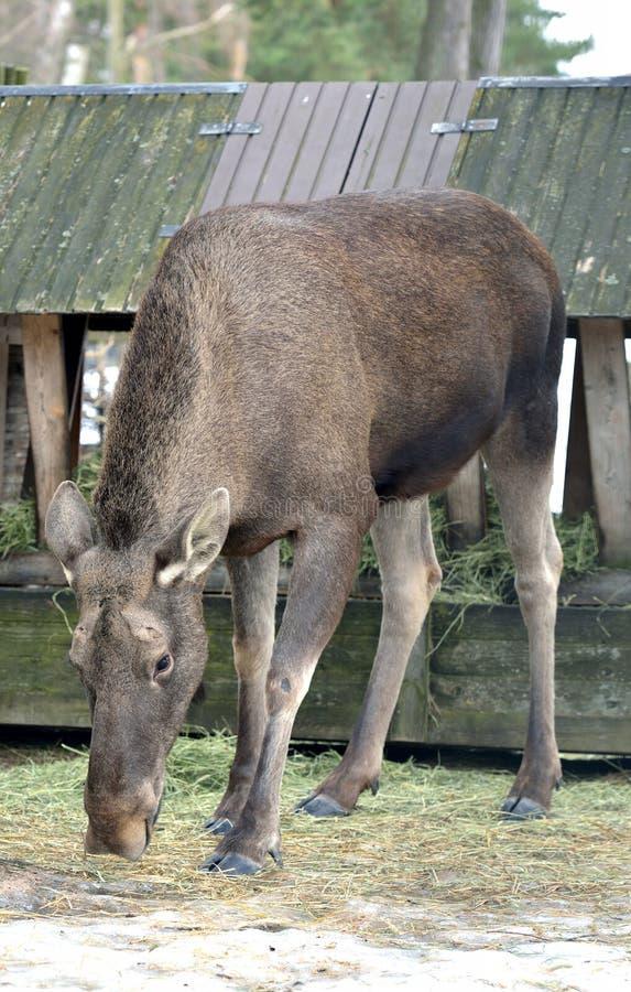 Alci, alces di alces, più grandi specie extant nella famiglia dei cervi in primavera fotografia stock