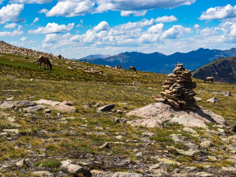 Alci che pascono su Rocky Mountain Summit immagini stock libere da diritti