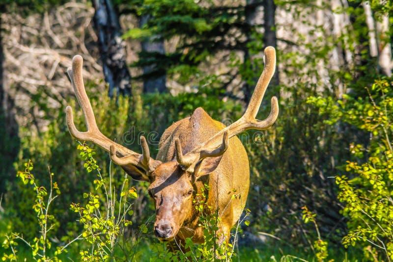 Alci con uno scaffale pieno dei corni del velluto, parco nazionale di Banff, Alberta, Canada immagini stock libere da diritti