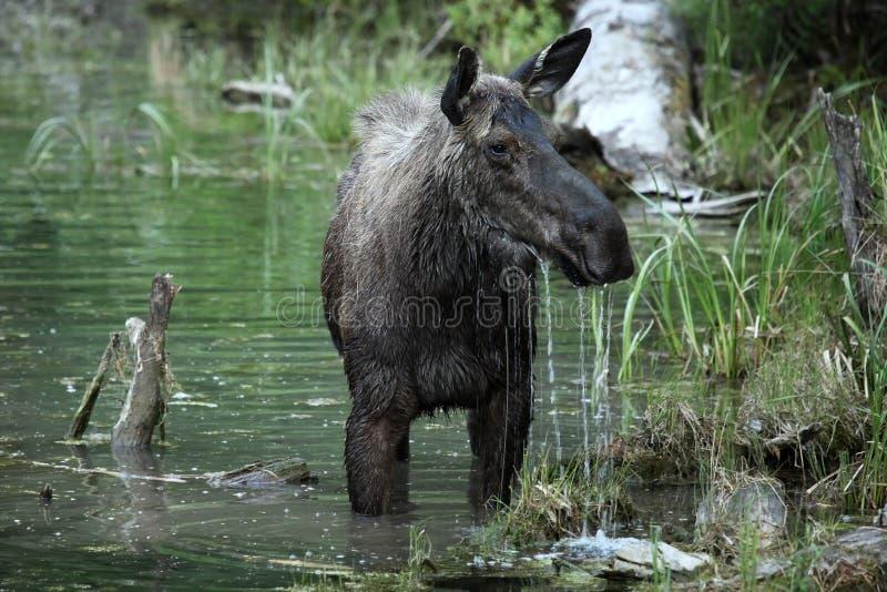 Alci del Montana fotografie stock