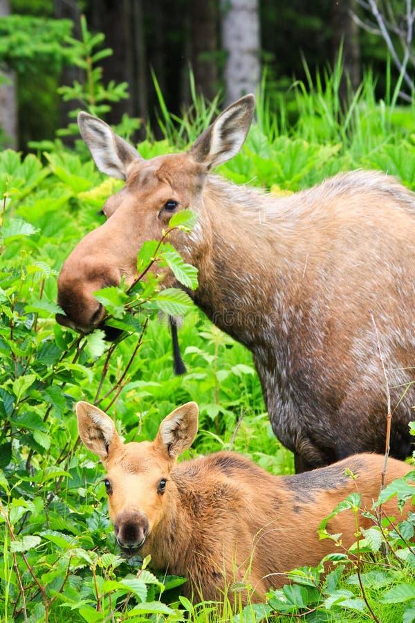 Alci dell'Alaska e giovane alimentazione del vitello immagini stock