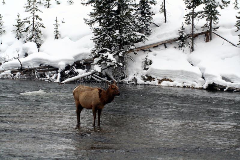 Alci della mucca nel fiume nevoso freddo immagini stock libere da diritti