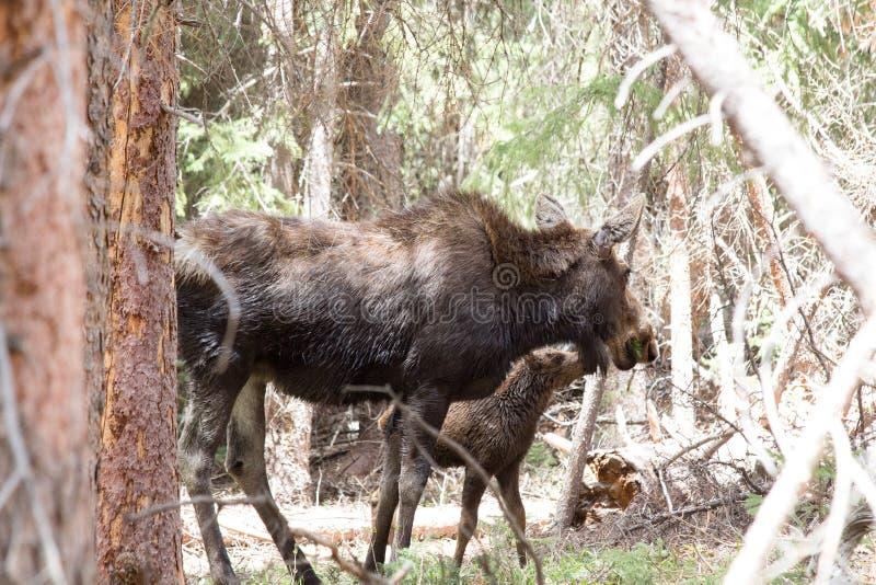 Alci femminili di mamma che alimentano il suo bambino in Colorado fotografia stock