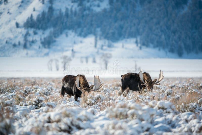 Alci, grande parco nazionale di Teton fotografia stock