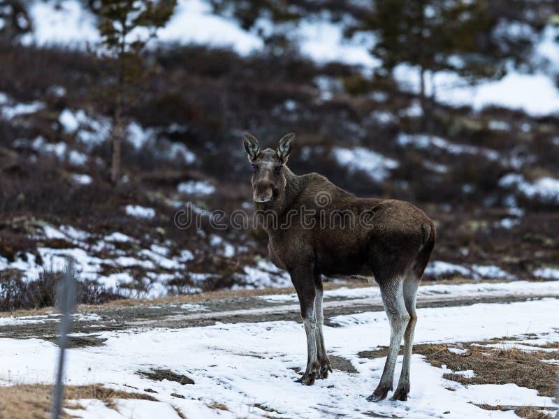 Alci o alci, alces di alces, su Dovre in Norvegia fotografie stock