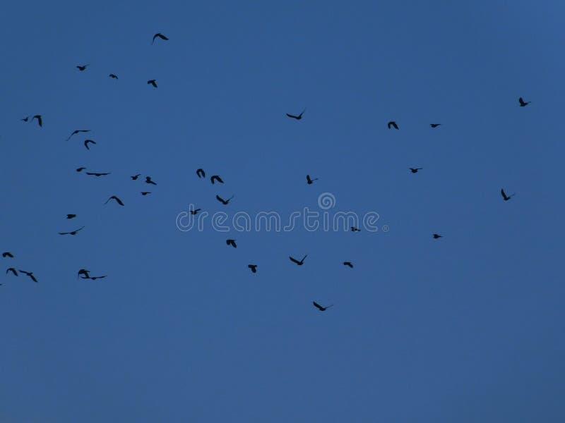 Alci, uccelli sul cielo fotografia stock libera da diritti