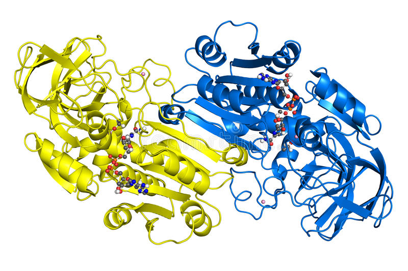 Alcohol dehydrogenase. Crystallographic structure. Subunits are shown in different colors, while ligands are depicted as ball-and-stick models royalty free illustration