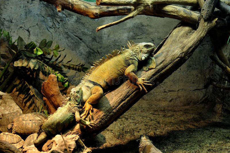 Alcune iguana e tartarughe fotografia stock