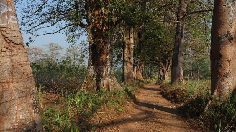 Alcuni alberi di kapok sul bordo della strada fotografie stock libere da diritti