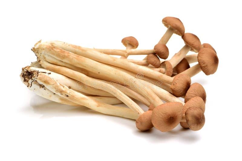 alcuni funghi orientali del salice, o l'albero del tè di marrone si espande rapidamente immagini stock libere da diritti