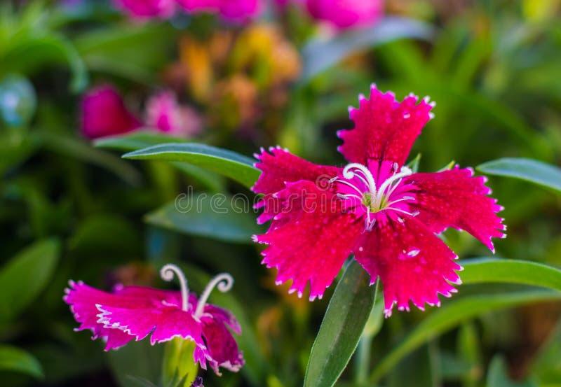 Alcuni garofani rossi turchi di fioritura sui precedenti delle foglie verdi fotografia stock