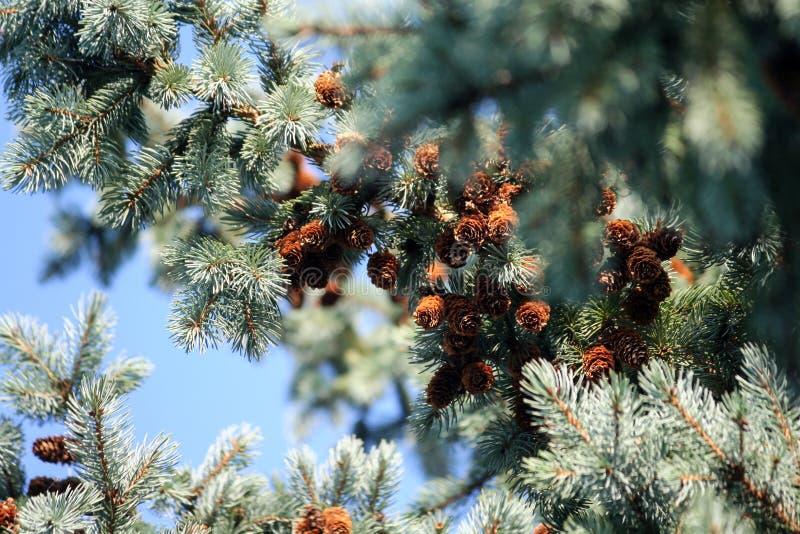 Alcuni grandi rami dell'abete rosso blu con i coni marroni scuri fotografia stock