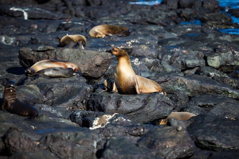 Alcuni leoni marini sulle rocce della spiaggia sull'isola del sud della plaza immagini stock libere da diritti