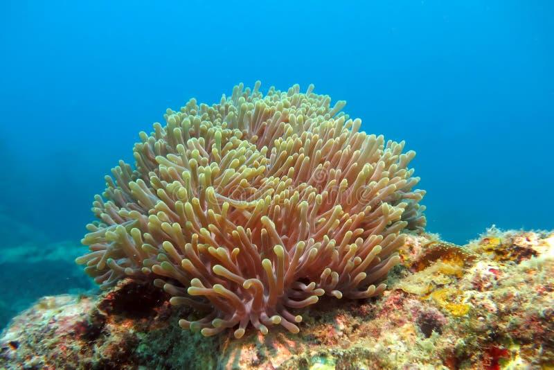 Alcyonacea或者软的珊瑚 库存图片