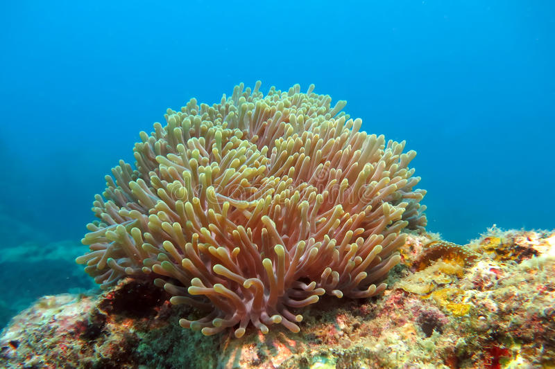 The Alcyonacea, or soft coral. Soft coral on the blue ocean bottom stock image