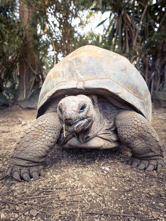 Free Aldabra Giant Tortoise Royalty Free Stock Images - 81988449