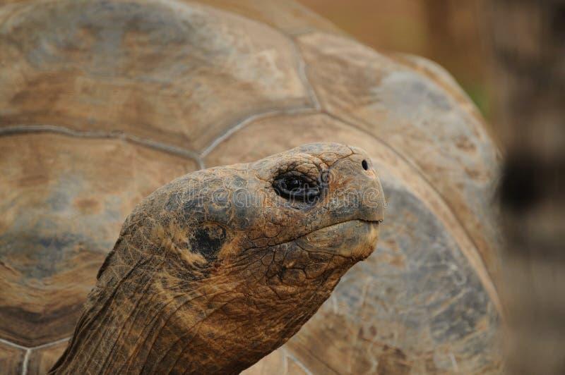Download Aldabra Giant Tortoise (Aldabrachelys Gigantea) Stock Photo - Image: 19082804
