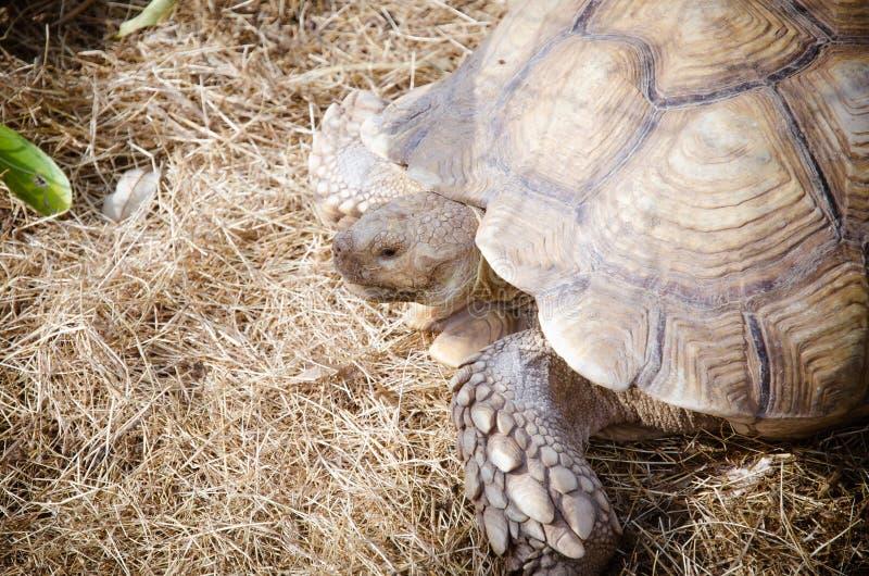 Aldabra giant tortoise (Aldabrachelys gigantea). The world no.2 biggest turtle royalty free stock photography